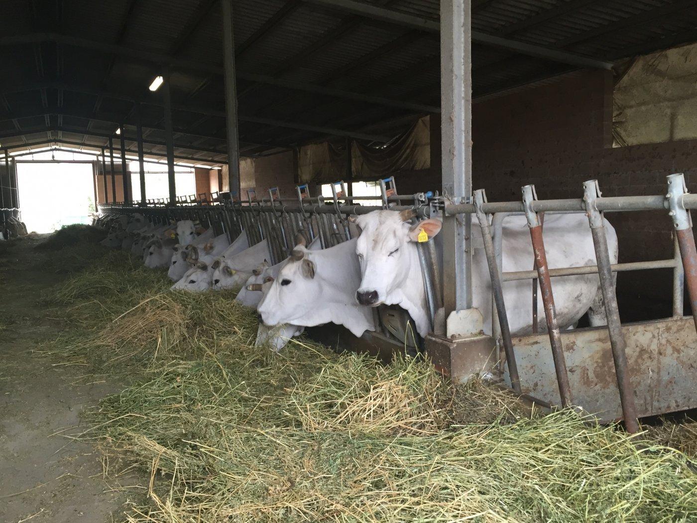 Vache de race Chianina - Pauline&Olivier