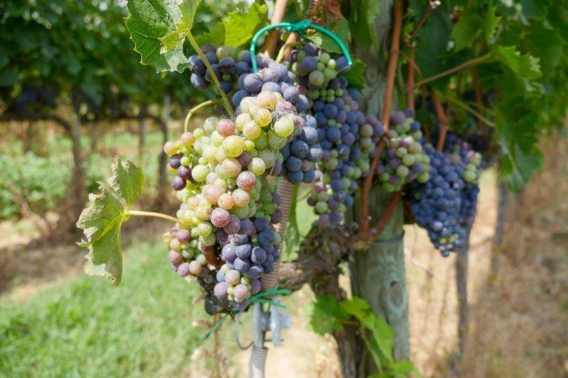 Grappes de raisin - Lunadoro - Pauline&Olivier