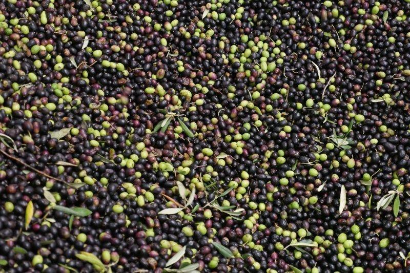 Olives Triage - Olio del Giorno - Pauline&Olivier