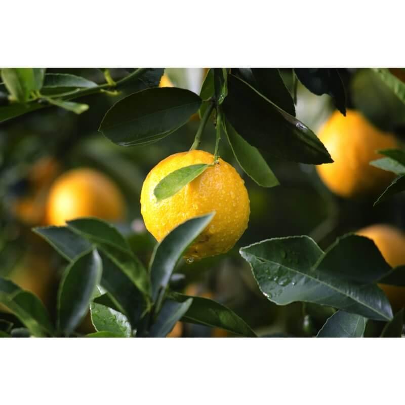 Citron Bio - Dolce Cilento - Limoncello Bio