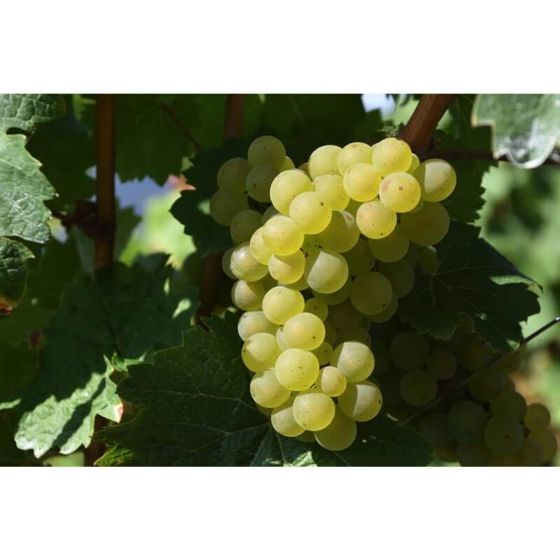 raisin blanc Soralisa Fanti - Pauline&Olivier